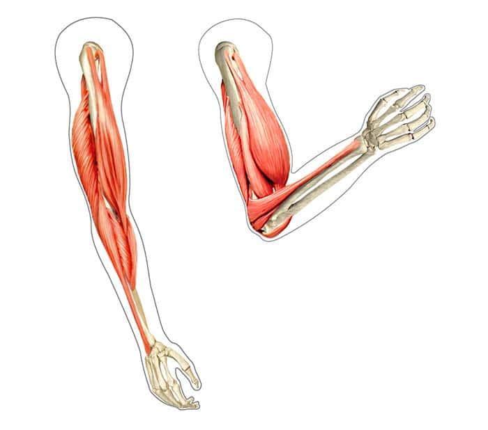 Anatomie eines menschlichen Arms