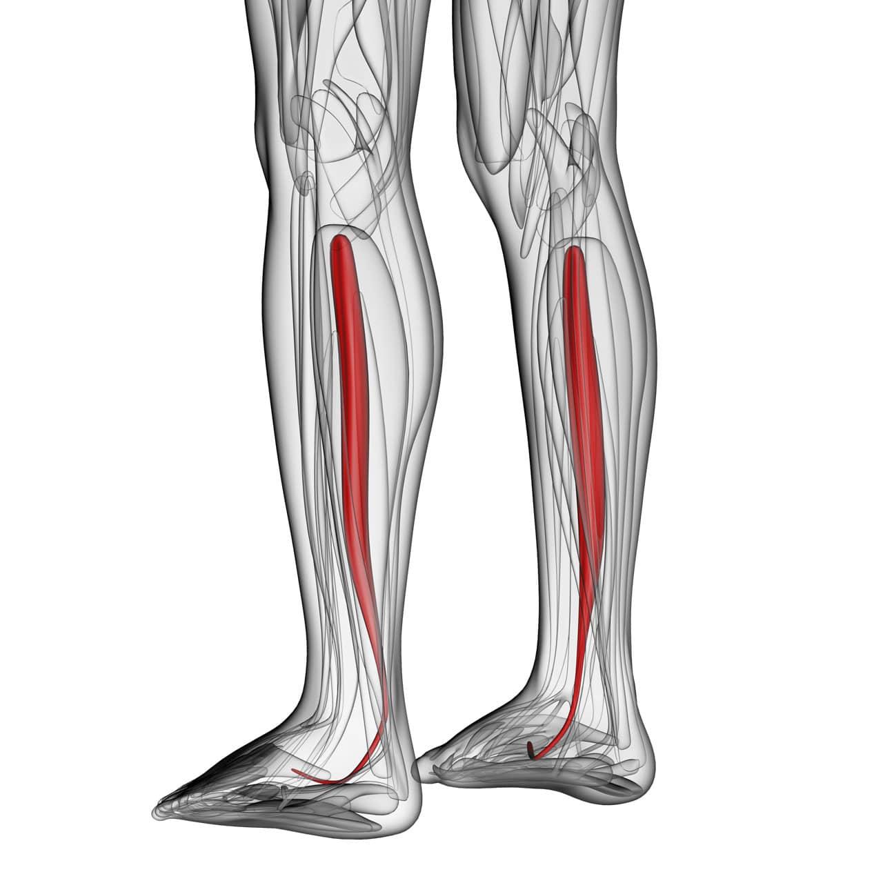 Darstellung des musculus tibialis posterior – Schienbeinkantensyndrom